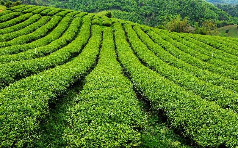 como llego la primer planta de té a la argentina